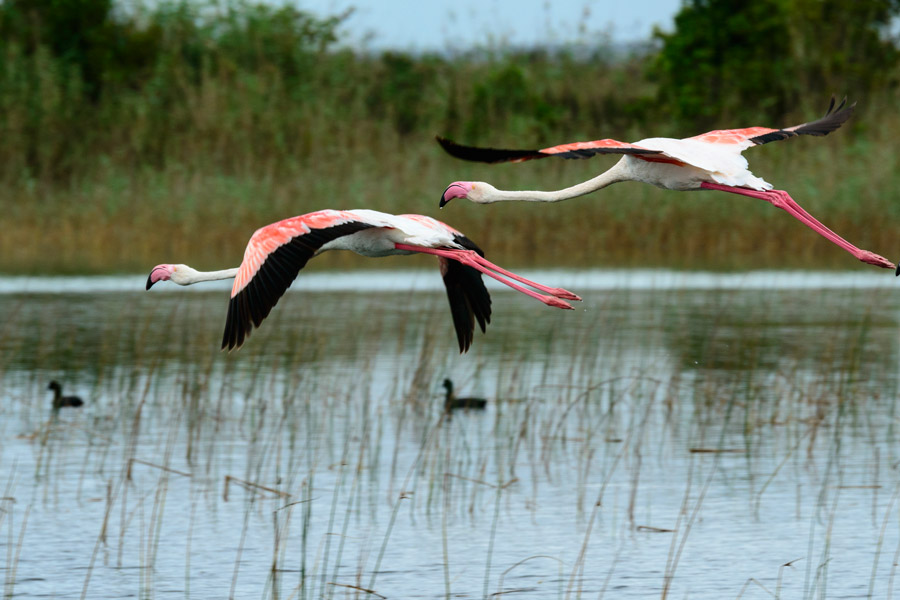 Flammands Roses Kosi Forest Lodge