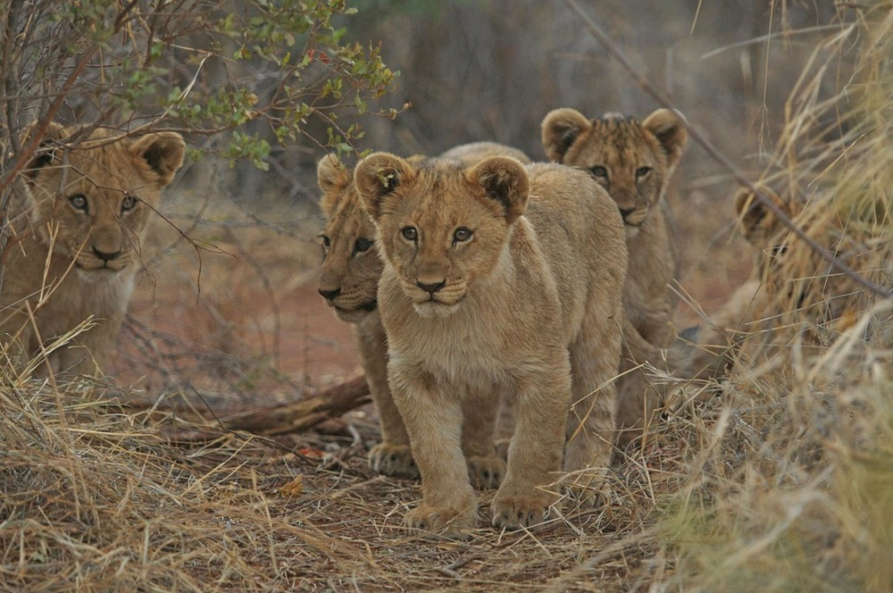 Lionceaux Morukuru Family