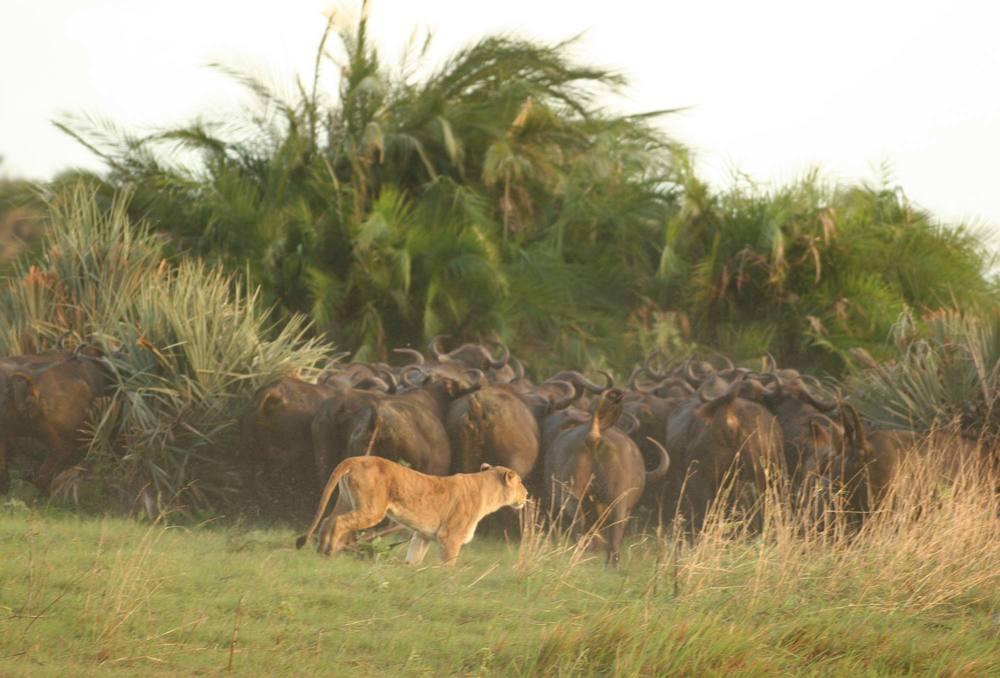 Lionne derrière troupeau d'éléphants Machaba Camp