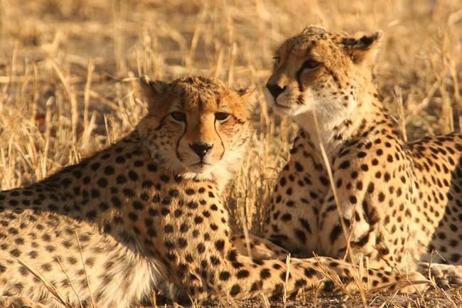 Guépards dans le bush Machaba Camp