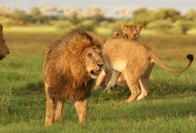Lions dans le bush Machaba Camp