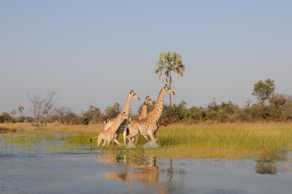Girafes dans l'eau Macatoo Camp