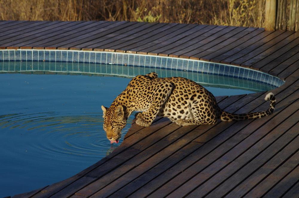 Léopard boit piscine Tau Pan