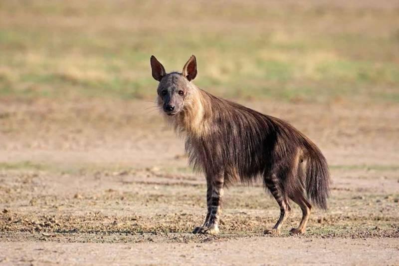 Hyène Haina Kalahari Lodge