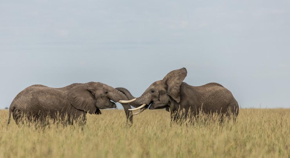 Eléphants Angama Mara