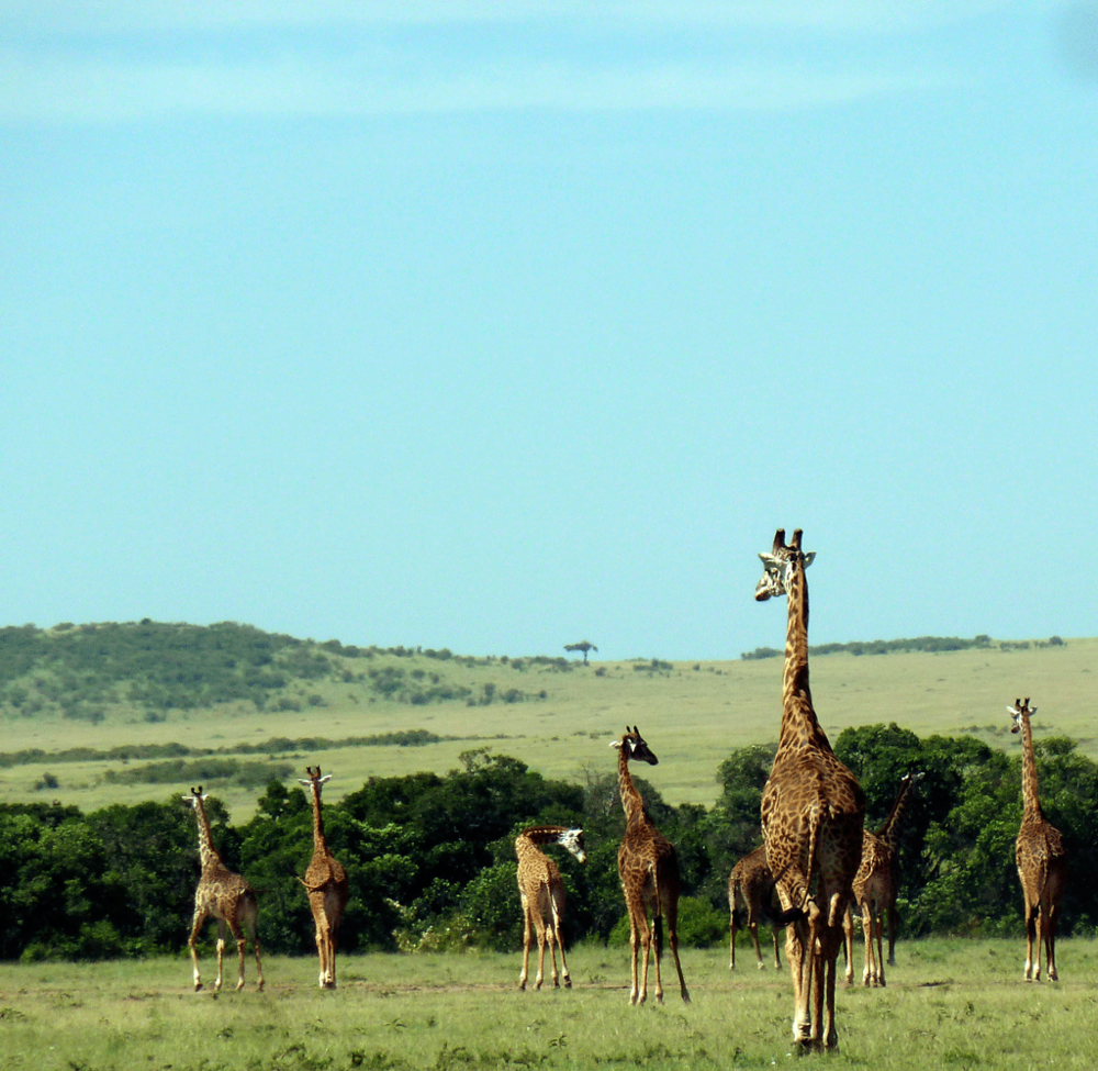 Troupeau de giraffes Speke's Camp