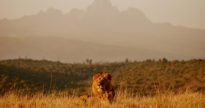 Lion dans le bush Borana Lodge