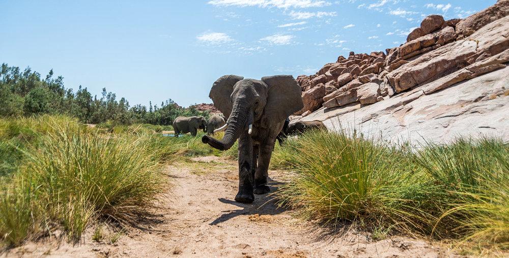Eléphant du désert Sorris Sorris