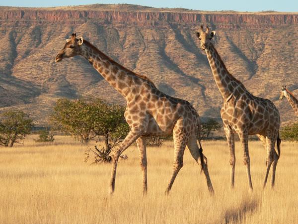 Giraffes Etendeka