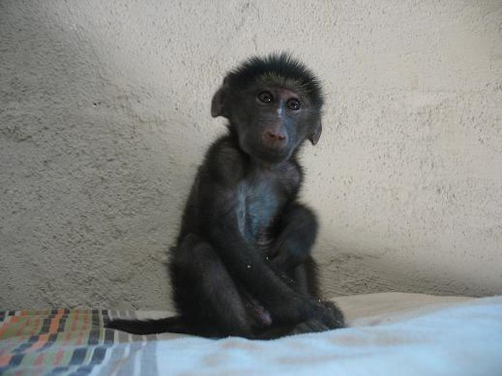 Baby baboon Naankuse