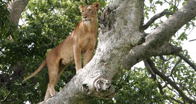 Lion dans arbre Ishasha Wilderness Camp