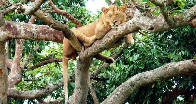 Lion se reposant dans l'arbre Ishasha Wilderness Camp