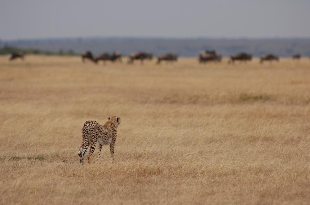 Guépard à la traque Nomad Lamai Serengeti