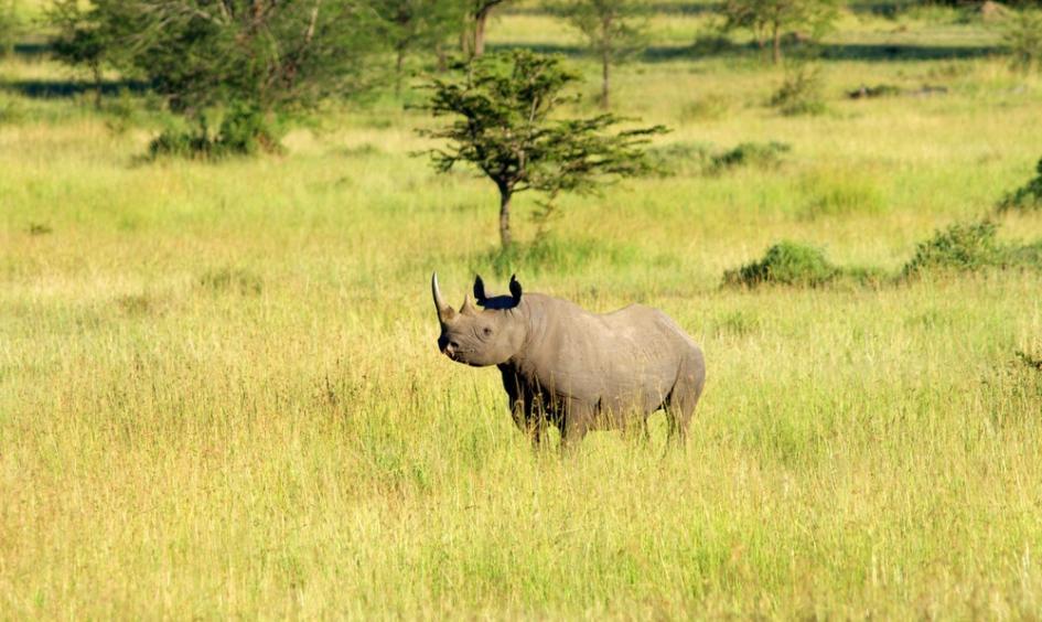 Rhinocéros Sayari