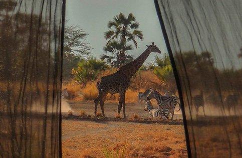 Giraffe et zèbres devant tente Chem Chem et Little Chem Chem