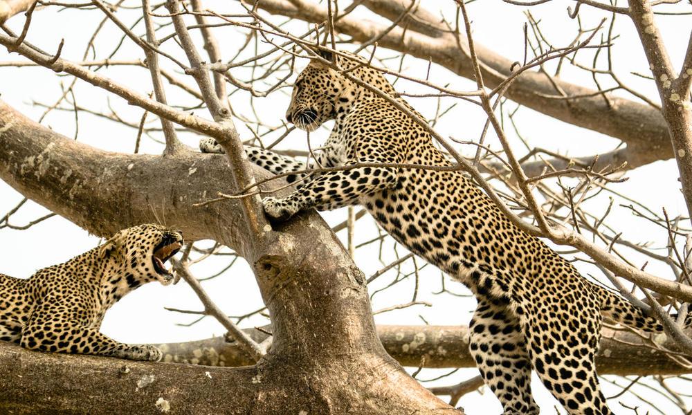 Léopards dans arbre Kwihala Camp