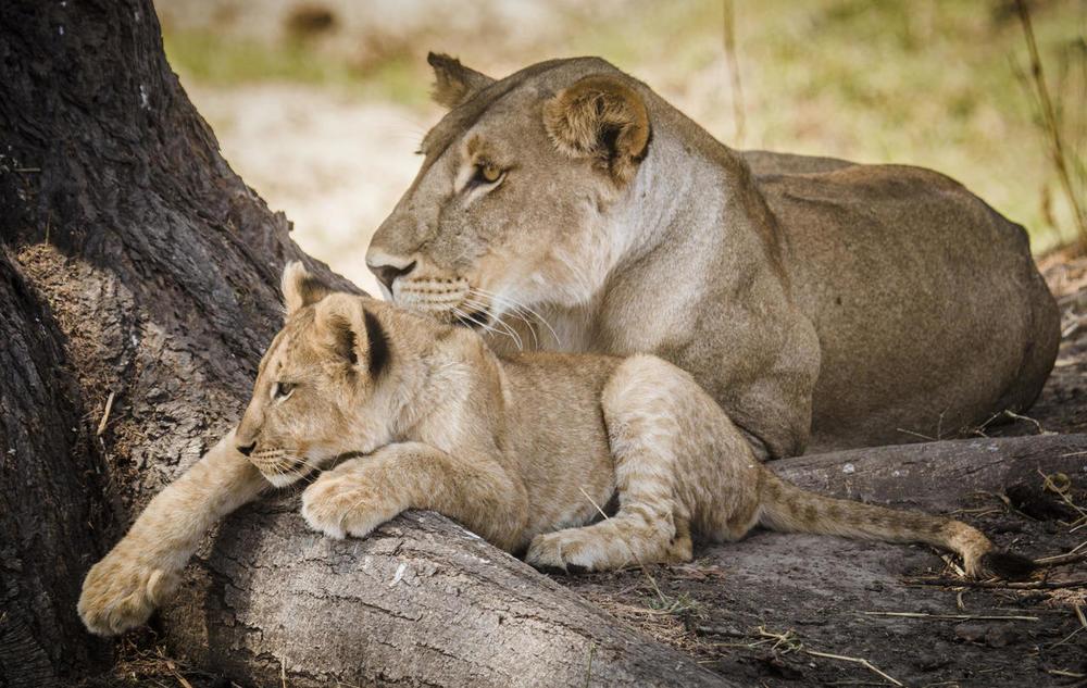 Maman et bébé Lion Kwihala Camp