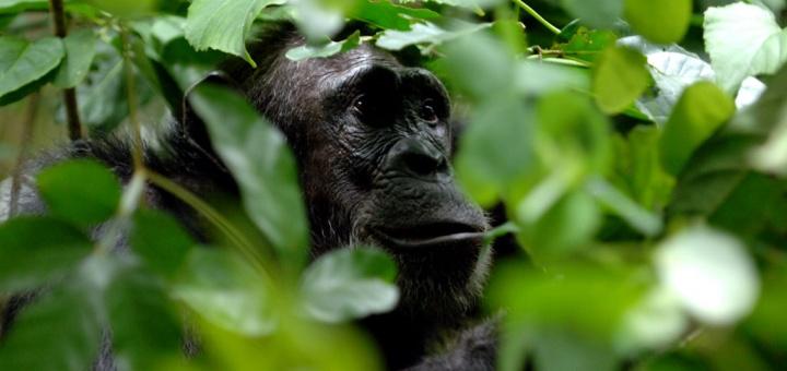 Chimpanzé Greystoke Mahale