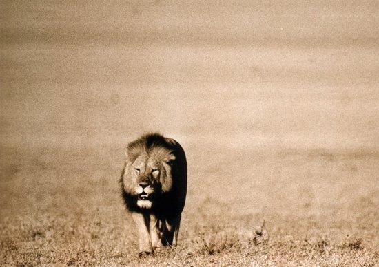 Lion Chada Katavi