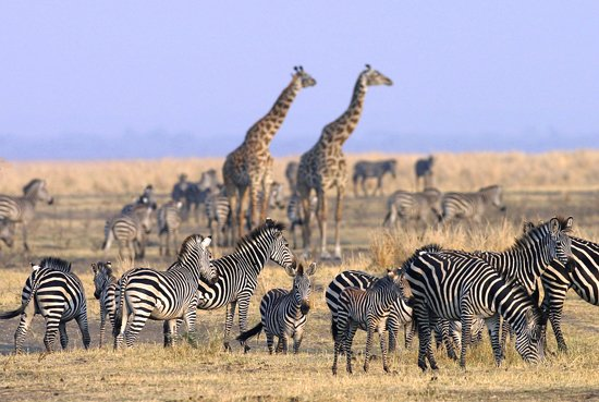 Troupeau Girafes Zèbres Chada Katavi