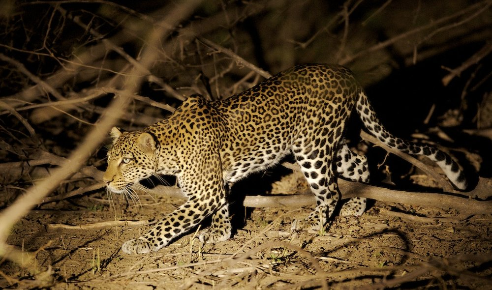 Léopard de nuit Sarara Camp