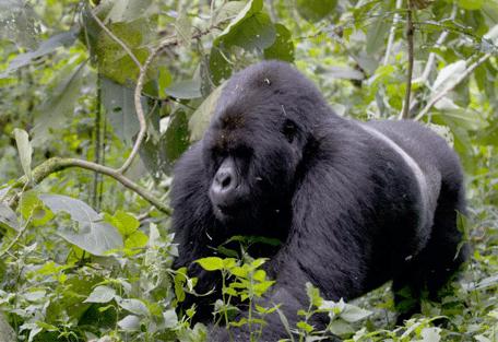 Gorilles dans la brousse Sabyinyo Silverback Lodge