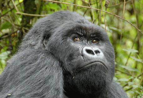 Tête de Gorille Sabyinyo Silverback Lodge