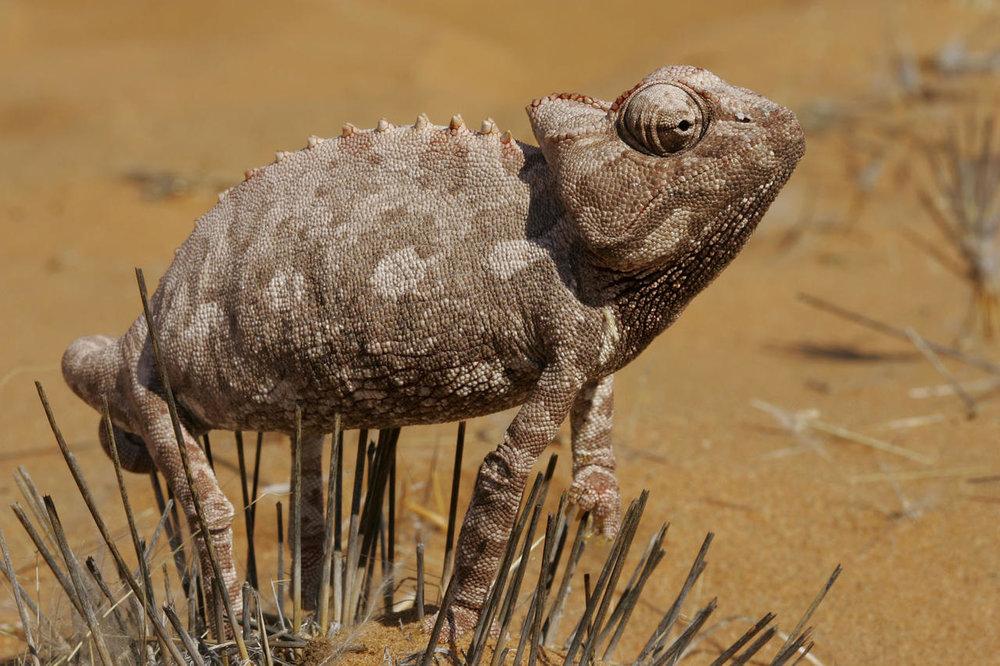 Caméléon du désert Serra Cafema