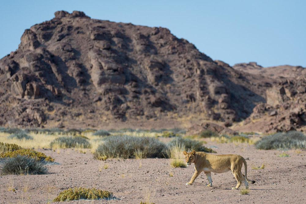 Lion du désert Hoanib Skeleton Coast Camp