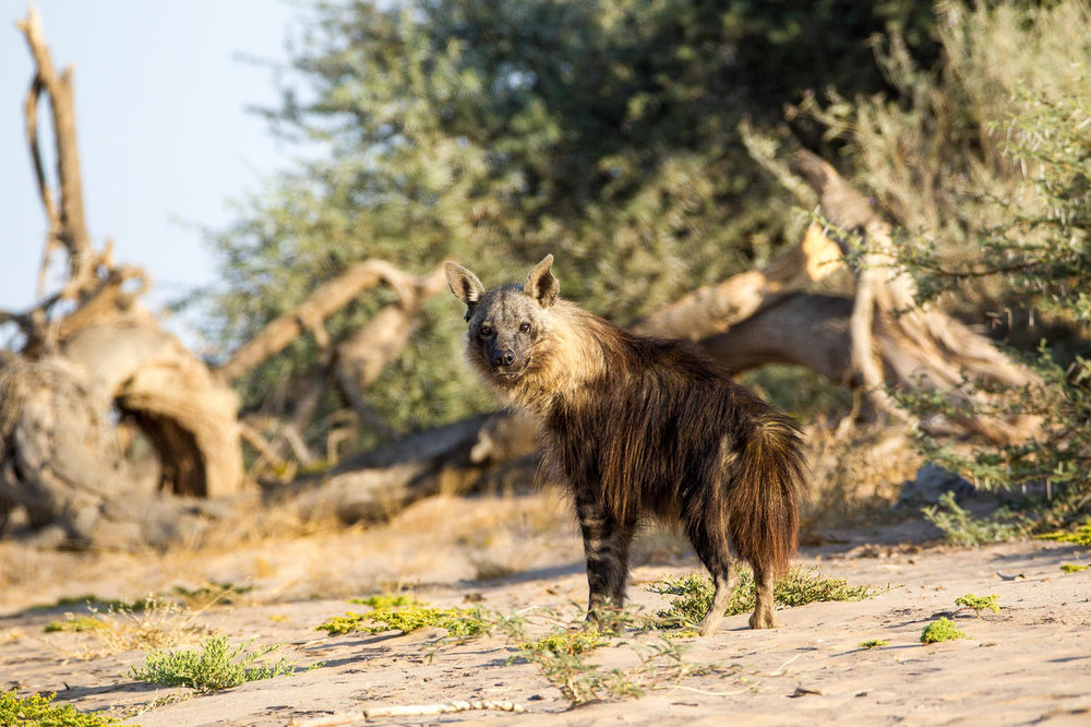 Hyène Hoanib Skeleton Coast Camp