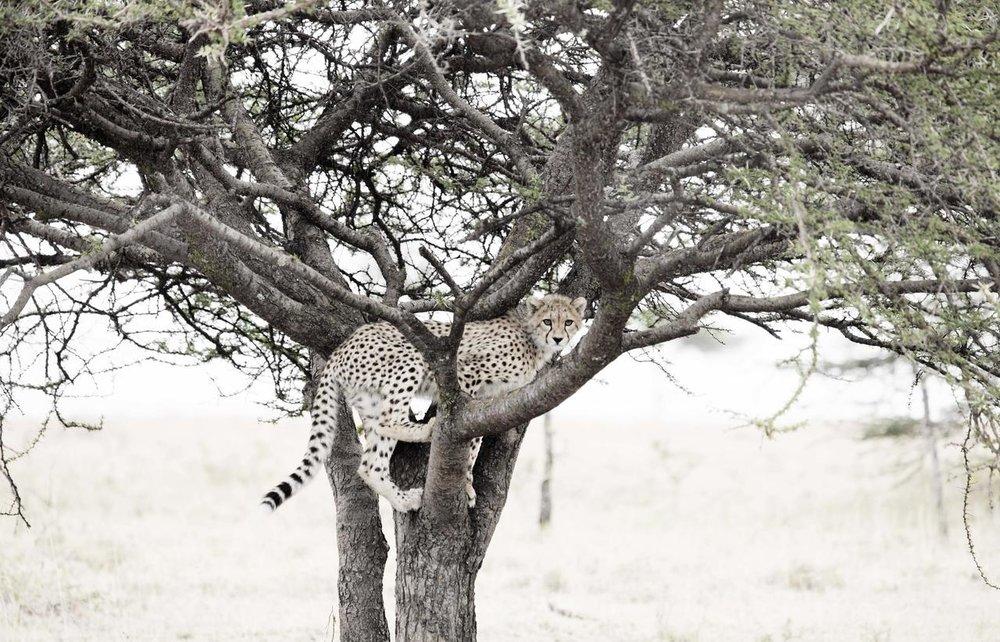 Guépard dans arbre Naboisho