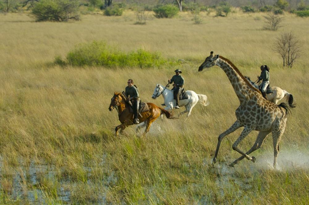 Safari à cheval au Botswana - monter avec des girafes