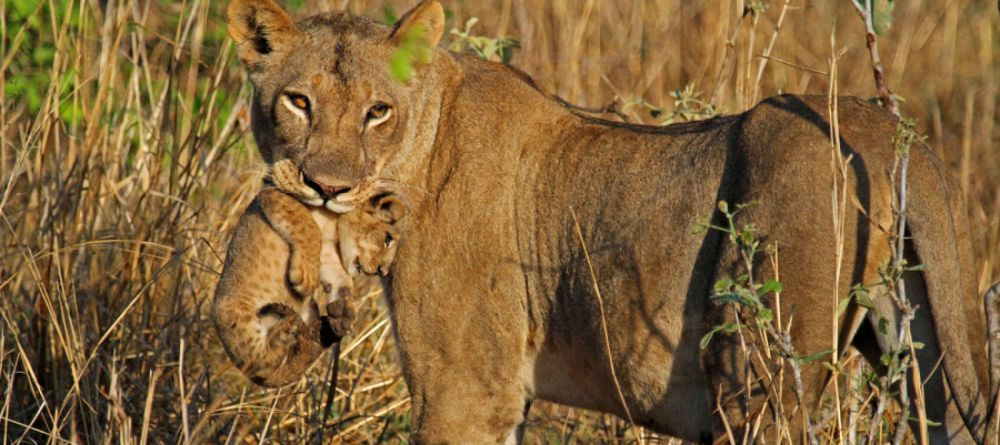 Safari Zambie et chute Victoria - lions à Tena Tena