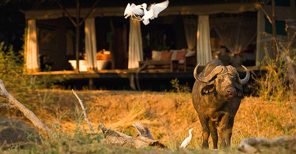 Safari le meilleur de la Zambie - Chiawa camp