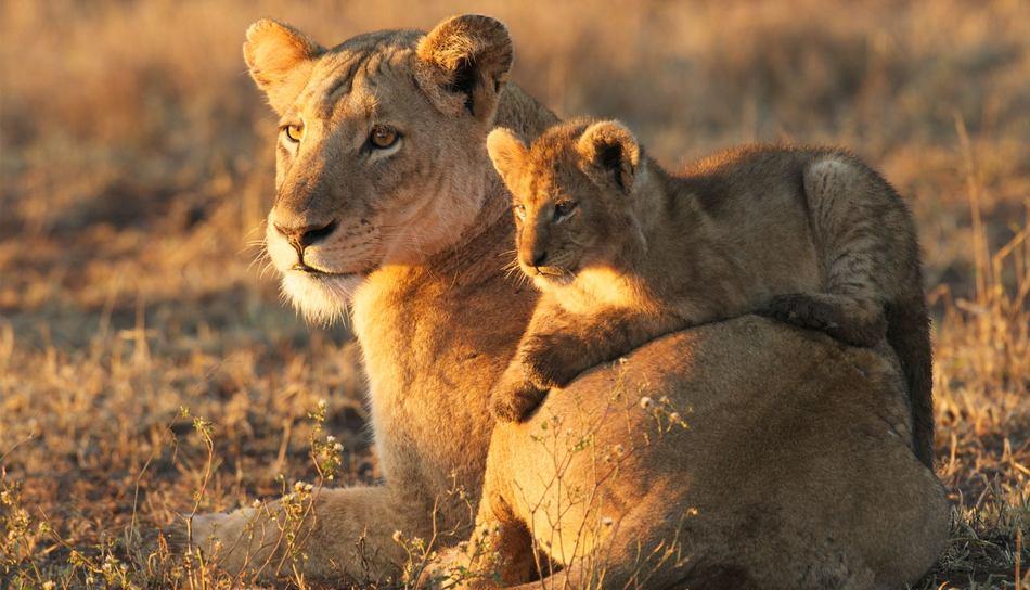 Safari du Cap au chutes Victoria - lions au Kirkman's kamp