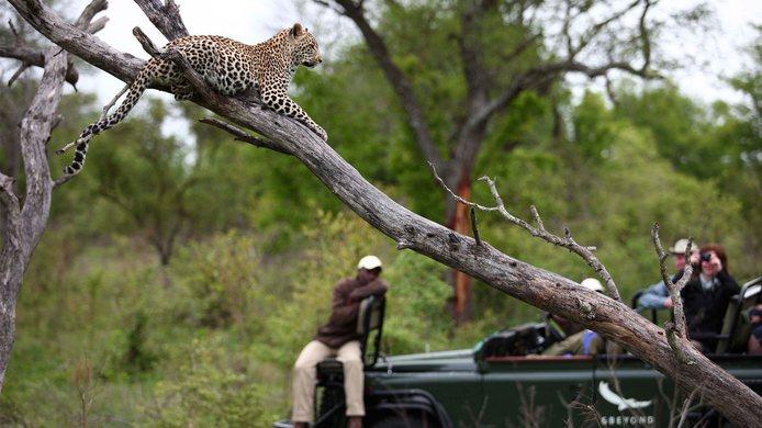 Safari du Cap aux chutes Victoria - Léopard au Kirkman's kamp