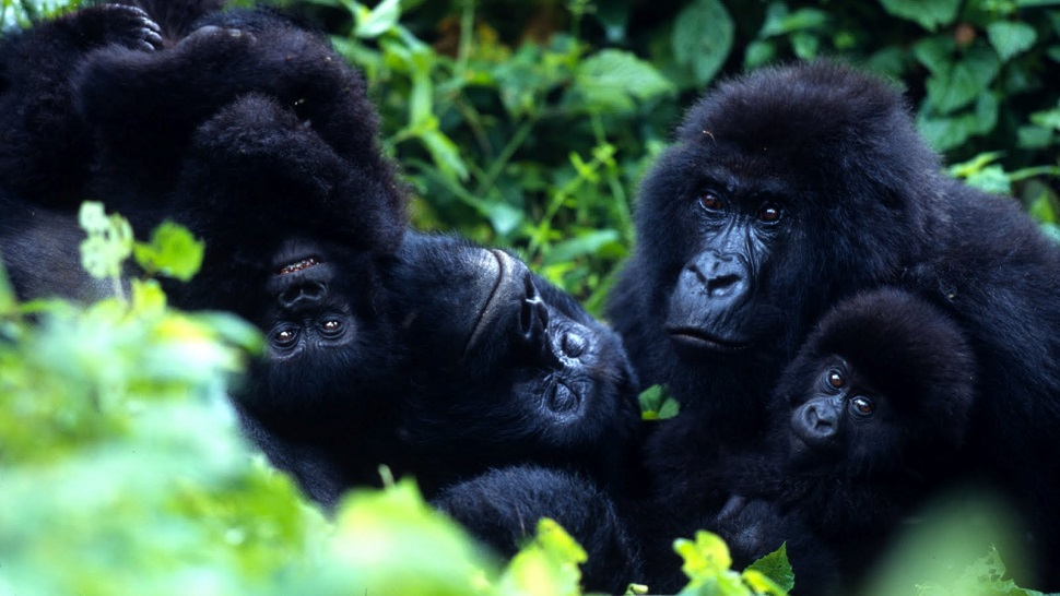 Famille de Gorilles Clouds Mountain Gorilla Lodge
