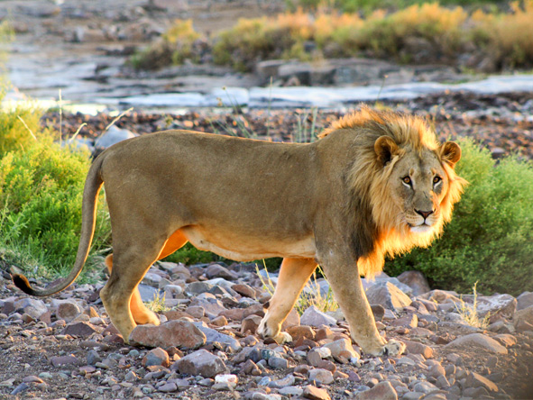Safari Splendide Namibie - lion à Etendeka