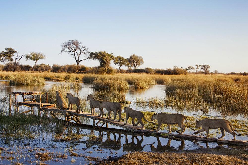 Safari Déserts et Plaines Africaines - lions à Zarafa