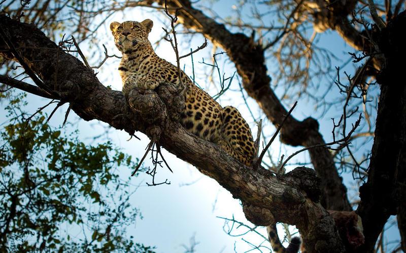 Safari le meilleur de l'Afrique du Sud et du Mozambique - léopard à Chitwa