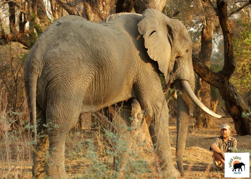 Au plus près d'un éléphant au Goliath Safaris camp