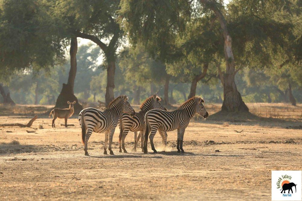 Zèbres au Goliath Safaris camp