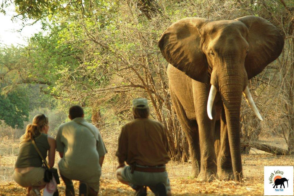 Approche d'un éléphant au Goliath Safaris camp