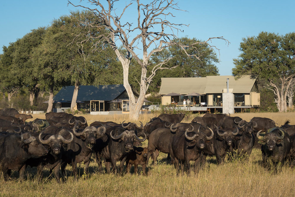 Buffles devant le Linkwasha camp