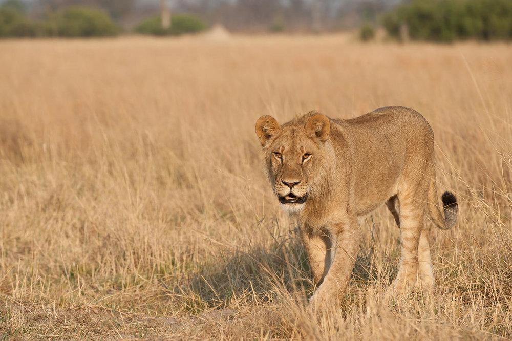 Lion au Linkwasha camp