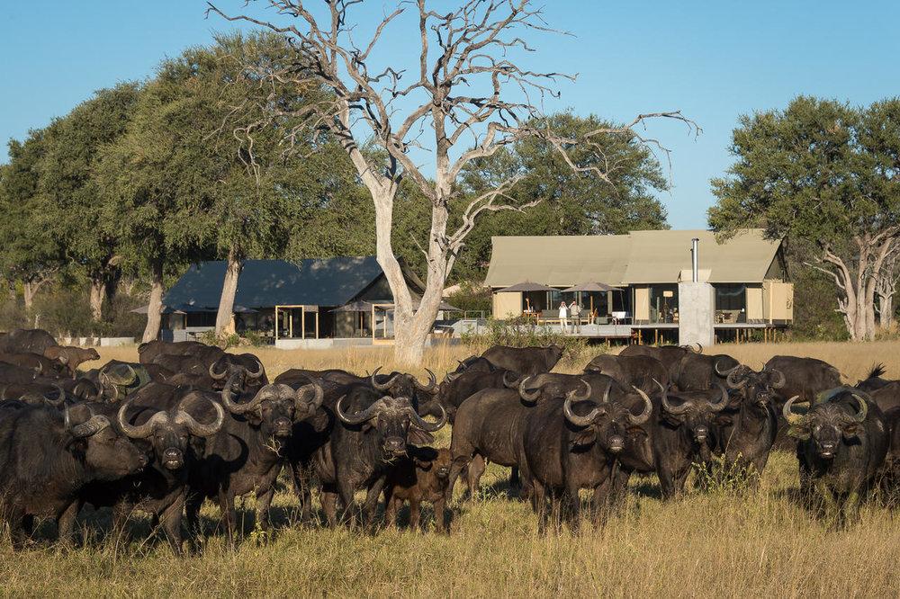 Safari Découvrez le Zimbabwé - buffles devant Linkwasha