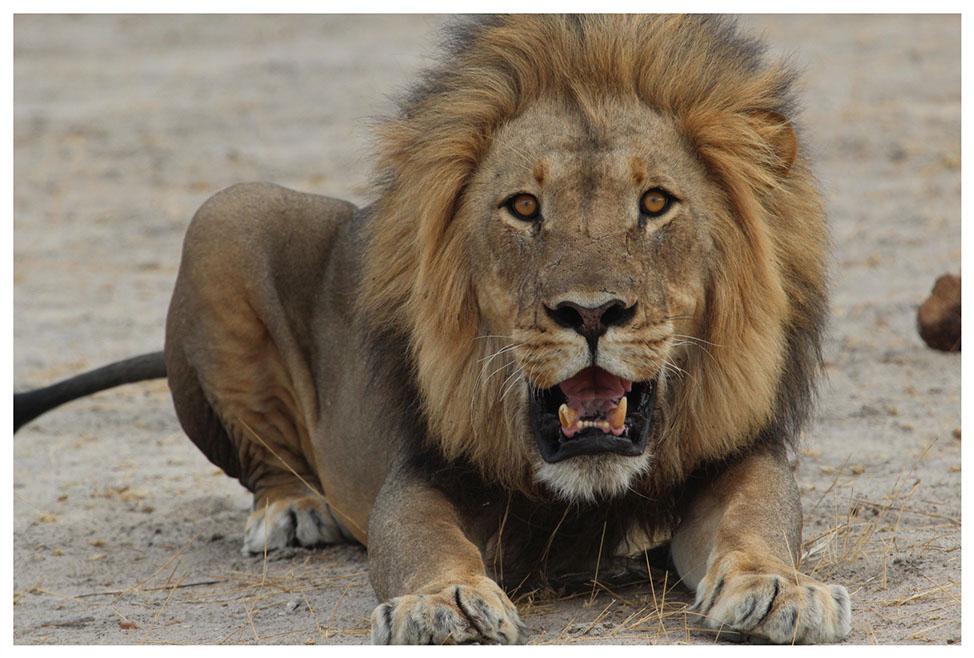 Lion au Nehimba lodge