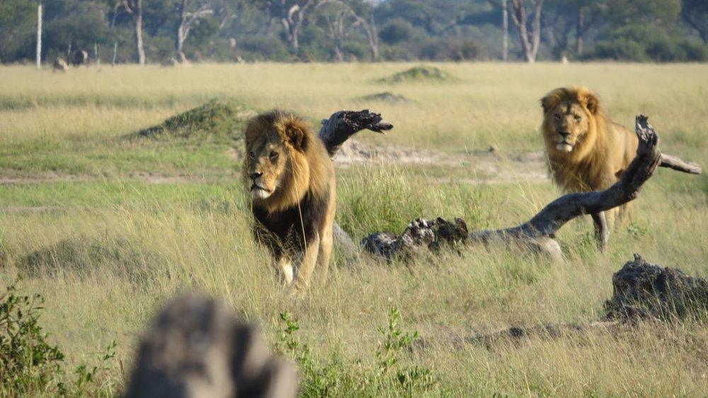 Lions au Somalisa camp