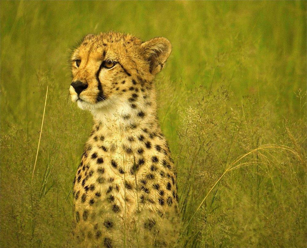Safari Je Veux du Luxe en Afrique - guépard à Somalisa