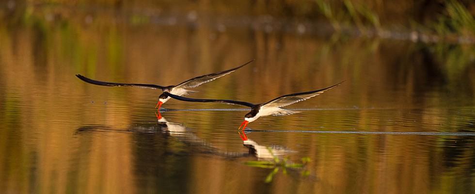 Oiseaux au Mvuu camp